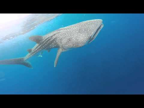 Kayakers Encounter Whale Shark Near Boca Raton