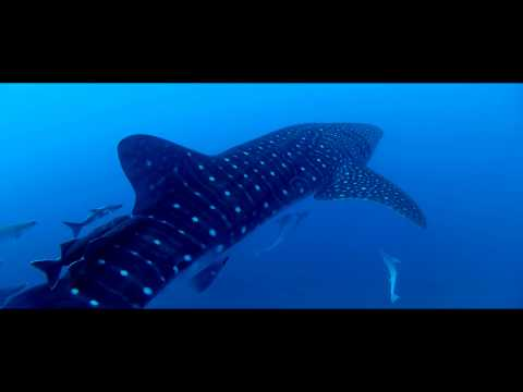 Whale Shark Spotted North of PB Inlet