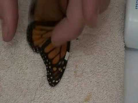 How to fix a broken butterfly wing