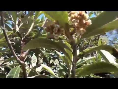HAVE YOU SMELLED LOQUAT FLOWERS?