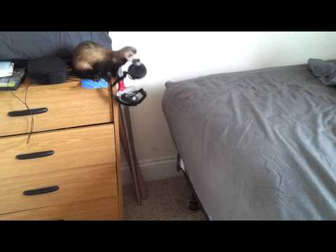 The Ferret Jump!Funny!