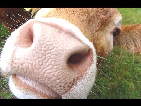 Clever Cow Compilation