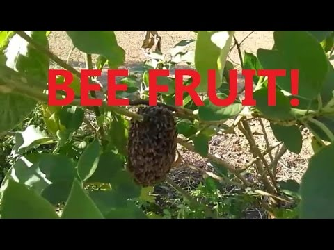 Foraging for mulberries, pomelos, sapodillas, and exotic bee fruit near Chiang Mai