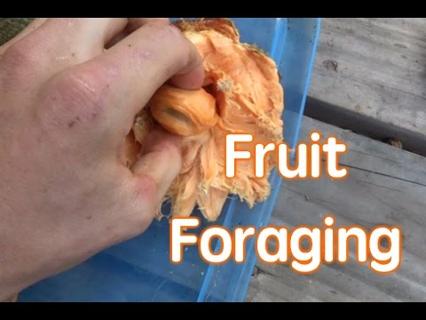 Fruit Foraging with Coconut Chris