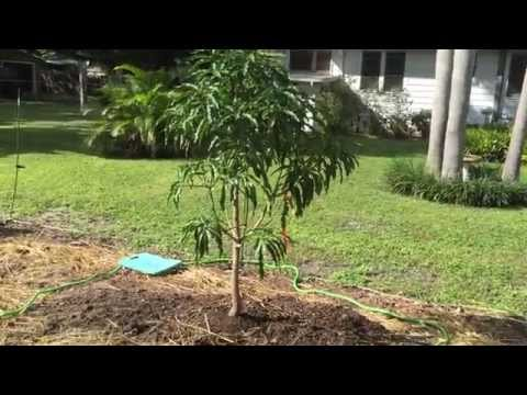 Carrie and Cogshall Mango Plantings