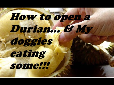 How to open a Durian... & My doggies eating some :)