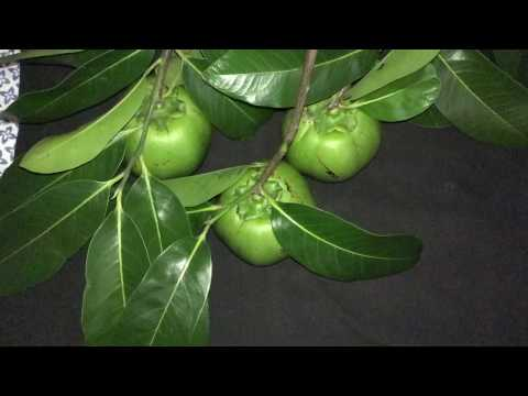 What is Black Sapote? Chocolate Pudding Fruit!