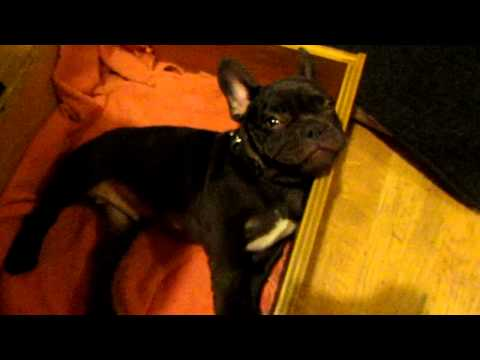 Frog Frenchie Fun French Bulldog Puppy Argues Bedtime