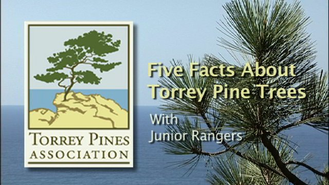 Five Facts About Torrey Pine Trees - with Junior Rangers