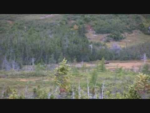 Newfoundland Moose    hunting the rut part 2 .Two shot's miss and the bull keeps coming!!!!!!