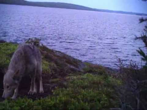 Wolf in Terra Nova National Park Captured on Trail Camera