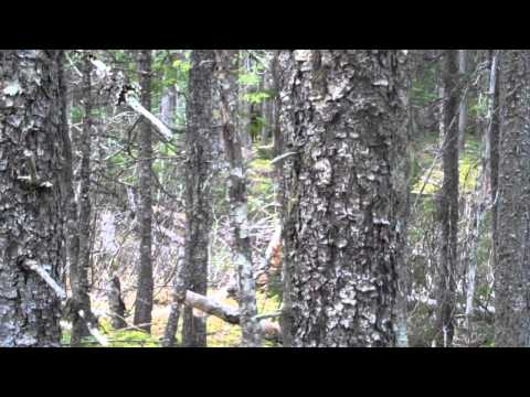 moose calling VID00414 part1