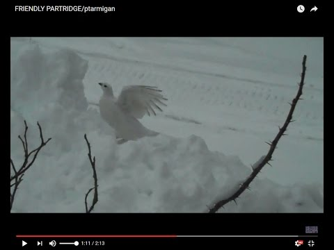 FRIENDLY PARTRIDGE/ptarmigan
