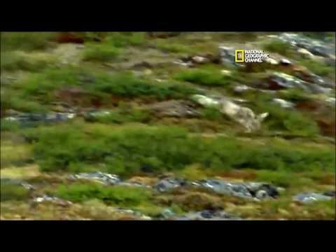 Untamed Americas: Mountains - Labrador Wolves and Caribou
