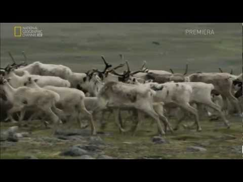 Untamed Americas: Mountains-Labrador Wolf and Caribou Sequence