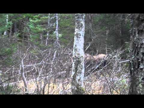 moose calling VID00412 part 3