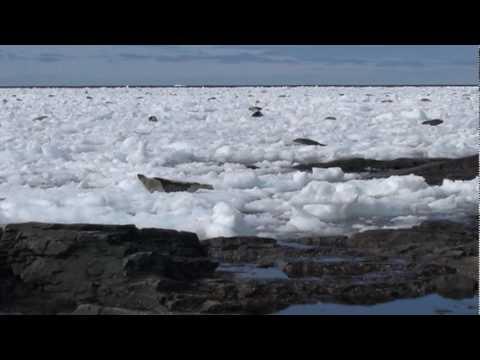 Seals In Port Saunders harbour