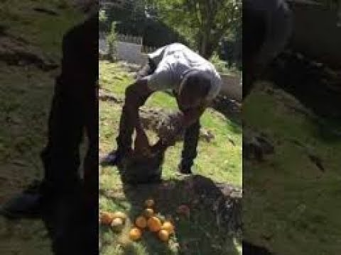 Ninja Man out STEALING fruits Guava and coconuts AUG 21, 2017