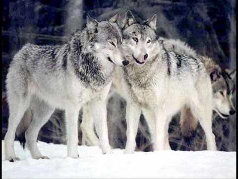 Metallica - Nothing Wolf matters - Tribute to Felcsi