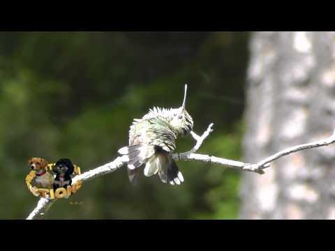 Ruby Throated Hummingbird Sunbathing
