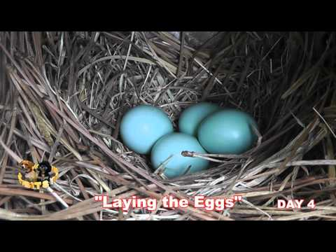 Baby Bluebirds Chronicle Clips #2