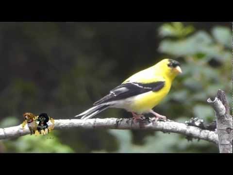 Male American Goldfinch Preening