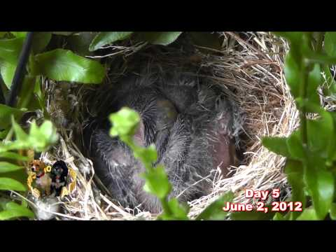 Baby Finches Chronicle
