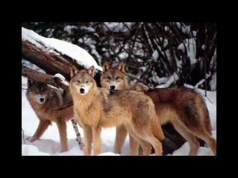 8 Myths about Wolves