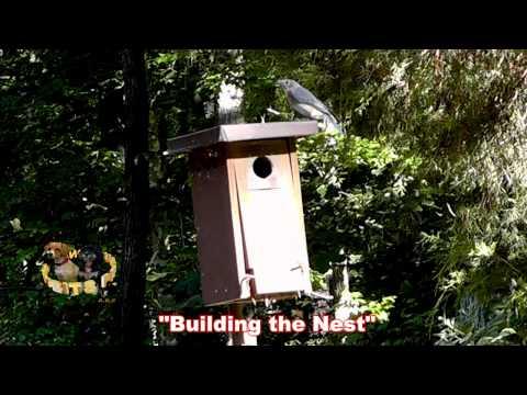 Baby Bluebirds Chronical Clips #1