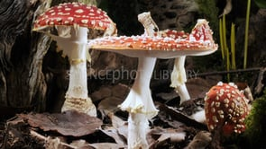 fly agaric mushrooms