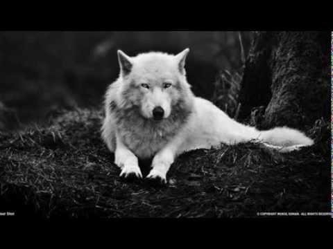 Wolf Vibration