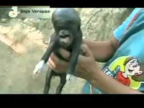 Piglet born with Human head in Guatemala! August 2011