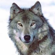 Dale Odgers  (Wolf)