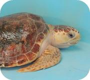 Gumbo Limbo Nature Center Turtle Release on July 31, 2014