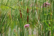 The Amazing Cattail