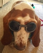 Basset and sunglasses