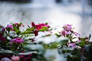 Η γιορτή των λουλουδιών (3) ...