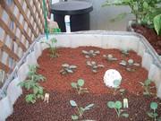 Brocoli & Cabbage