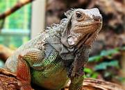 Dealing with Iguanas in the Florida Landscape