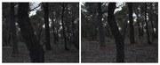 Goldfield Study, Whipstick Park (Gum Trees)