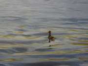 Lone Little Duck
