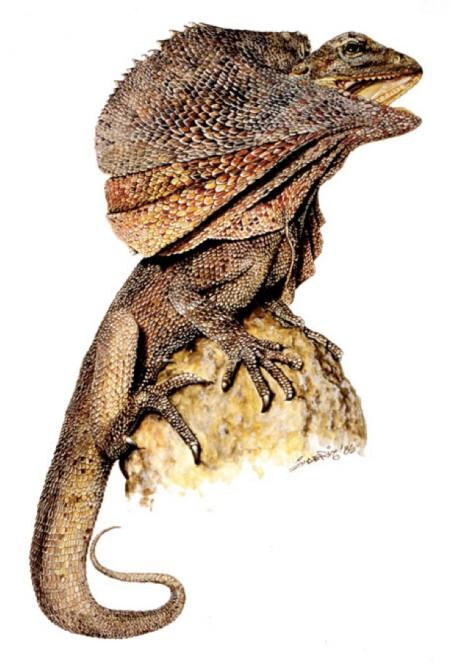 Frill Lizard