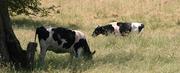 Cows #1 cropA copy