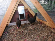 Got a couple chickens