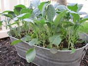 Tuscan Kale Container Garden