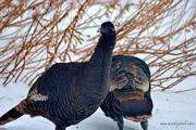 Wild Hen Turkeys