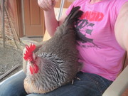 lap chicken