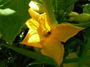 happy little squash bee