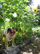first sunflower!