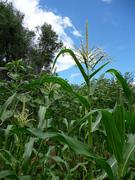corn growth